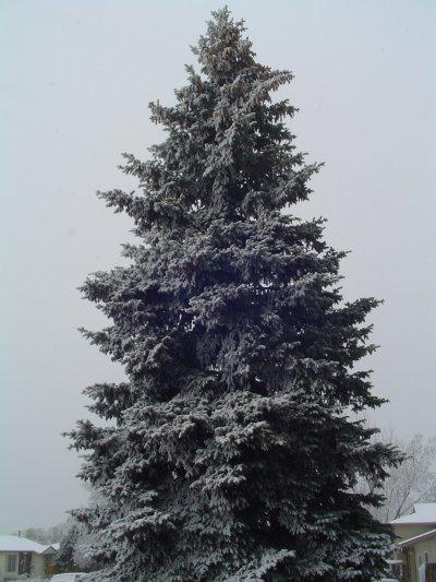 Evergreen Trees In Colorado