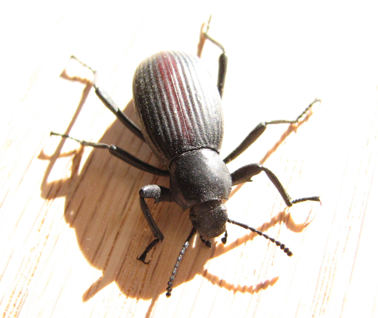 This Is Another Darkling Beetle And Ears To Be The Same Species As Photo Above It Was Crawling On My Garage Floor 4 November 2017